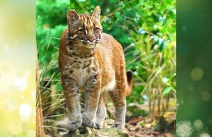 Asian Golden CatPhoto by: Karen Stout CC BY-SA 2.0 https://creativecommons.org/licenses/by-sa/2.0