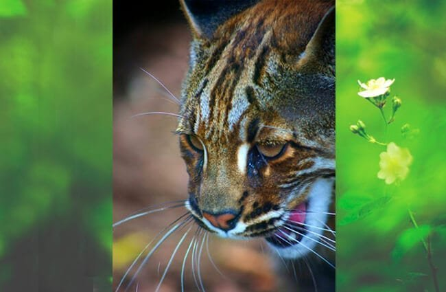 Asian Golden Cat, photographed at Edinburgh Zoo Photo by: Jenni Douglas from Edinburgh, Scotland CC BY 2.0 https://creativecommons.org/licenses/by/2.0