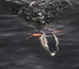 Diving Duck Down! This Male Barrow's Goldeneye Is Diving For Dinner Photo By: Ingrid Taylar Https://creativecommons.org/licenses/by/2.0/