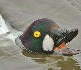 Goldeneye Surfacing While Diving For Lunch Photo By: Jo Garbutt Https://creativecommons.org/licenses/by/2.0/