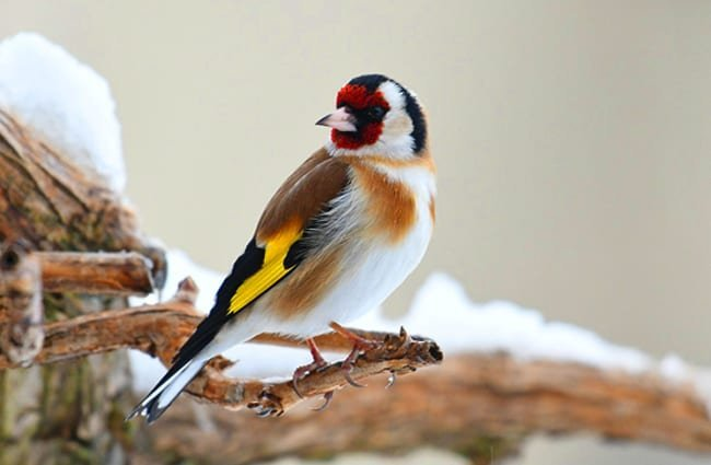 European Goldfinch on a snowy branch Photo by: grégory Delaunay https://pixabay.com/photos/goldfinch-bird-nature-beak-wings-4232130/