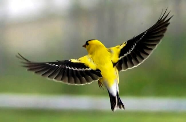 American Goldfinch in flighPhoto by: Frank Boston https://creativecommons.org/licenses/by/2.0/