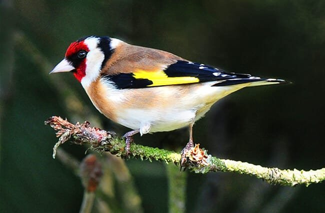 Pretty little European Goldfinch Photo by: Jimmy Edmonds https://creativecommons.org/licenses/by/2.0/