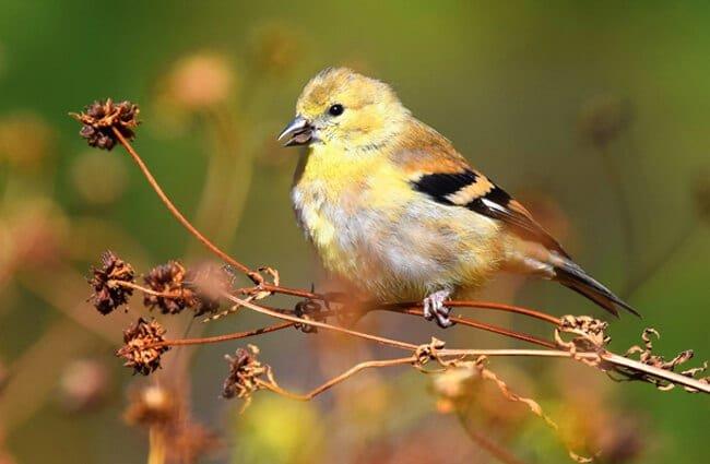 American Goldfinch in his winter plumage Photo by: Andy Reago & Chrissy McClarren https://creativecommons.org/licenses/by/2.0/
