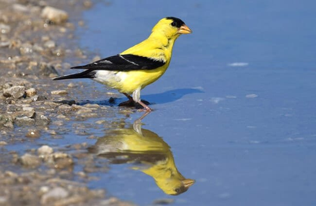 American Goldfinch at the side of a pond Photo by: Andy Reago & Chrissy McClarren https://creativecommons.org/licenses/by/2.0/