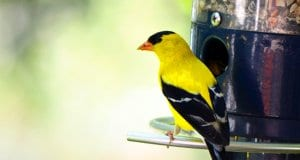 American Goldfinch on a backyard bird feederPhoto by: Patrick Ashleyhttps://creativecommons.org/licenses/by/2.0/