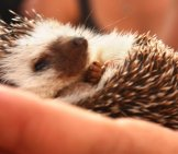 Baby Hedgehog Photo By: Kaythaney Https://creativecommons.org/licenses/by/2.0/