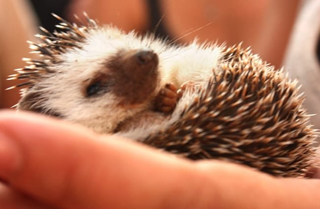 Baby Hedgehog Photo by: kaythaney //creativecommons.org/licenses/by/2.0/