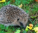 Hedgehog Browsing On The Lawn Photo By: Karen Roe Https://creativecommons.org/licenses/by/2.0/