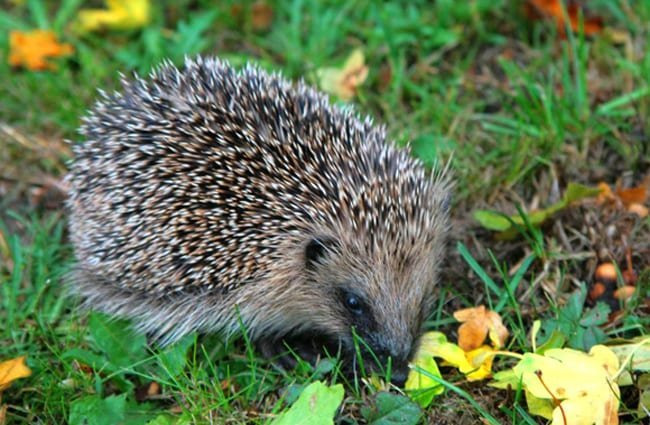 Hedgehog browsing on the lawn Photo by: Karen Roe //creativecommons.org/licenses/by/2.0/
