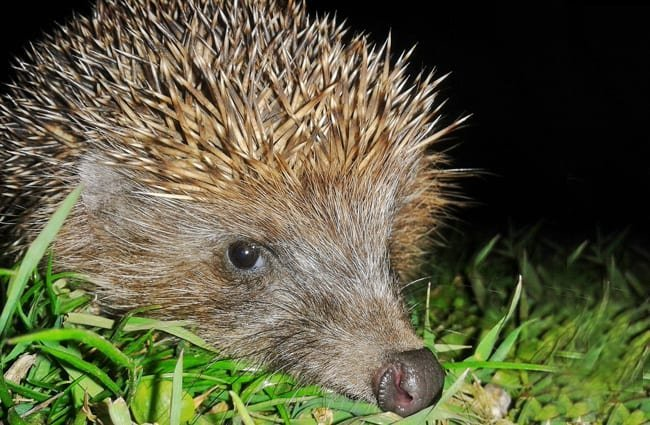 Closeup of a Hedgehog Photo by: Greg https://creativecommons.org/licenses/by/2.0/