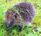 Hedgehog Browsing For Insects Photo By: Peter O'Connor Aka Anemoneprojectors Https://Creativecommons.org/Licenses/By/2.0/
