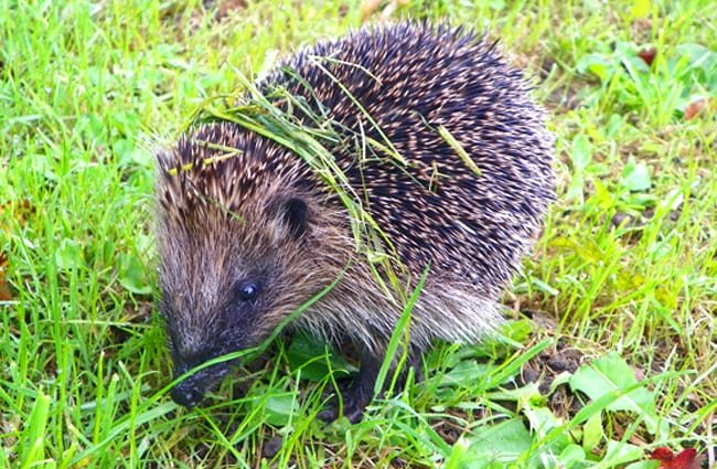 Hedgehog browsing for insects Photo by: Peter O'Connor aka anemoneprojectors //creativecommons.org/licenses/by/2.0/