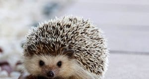 Portrait of a cute Hedgehog Photo by: Amaya Eguizábalhttps://pixabay.com/photos/hedgehog-cute-animal-little-nature-1215140/