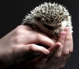 Pet Hedgehog In Human Hands Photo By: Silvo Bilinski Https://pixabay.com/photos/hedgehog-Animal-Cute-Hands-Prickly-3209499/
