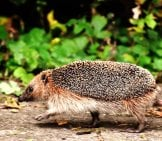 Why Did The Hedgehog Cross The Road? Photo By: Alexas_Fotos Https://pixabay.com/photos/hedgehog-Run-Race-Garden-Spur-1644129/