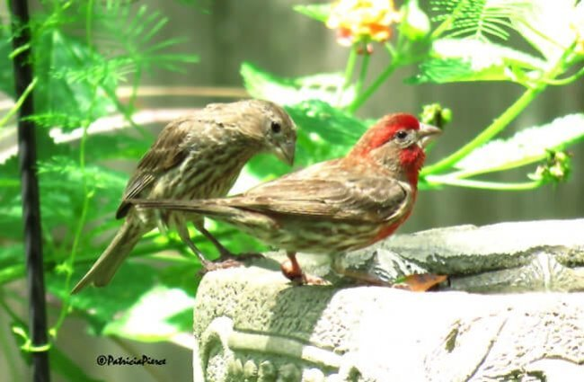 House Finch couple on the bird bath Photo by: patricia pierce //creativecommons.org/licenses/by-sa/2.0/