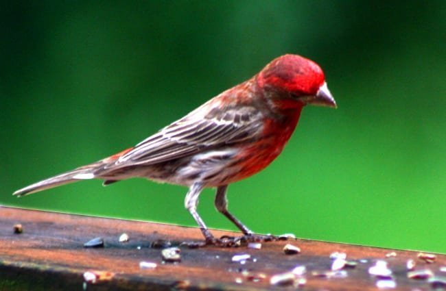 House Finch eating white safflower seed on a porch rail Photo by: Robert Taylor //creativecommons.org/licenses/by-sa/2.0/