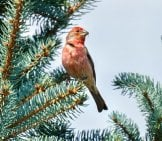Stunning House Finch In A Fir Tree Photo By: Qurlyjoe //creativecommons.org/licenses/by-Sa/2.0/