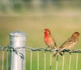 A Pair Of House Finches On A Fence Photo By: Paul Sullivan //creativecommons.org/licenses/by-Sa/2.0/