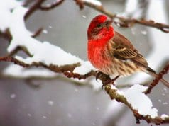 A beautiful House Finch on a snowy branchPhoto by: Will FisherWinner of a Flick Award//creativecommons.org/licenses/by-sa/2.0/