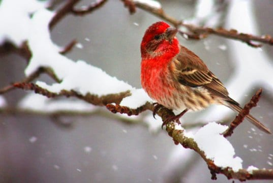 A beautiful House Finch on a snowy branchPhoto by: Will FisherWinner of a Flick Awardhttps://creativecommons.org/licenses/by-sa/2.0/