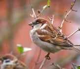 Pretty Little House Sparrow Photo By: Mario Schulz //pixabay.com/photos/sparrow-Sperling-Bird-Close-Up-1236489/