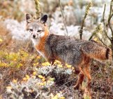 Island Fox Posing For A Quick Picphoto By: Pacific Southwest Region Usfwshttps://creativecommons.org/licenses/by/2.0/