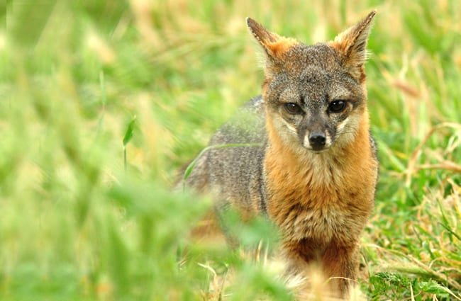 Island Fox Photo by: Shanthanu Bhardwaj https://creativecommons.org/licenses/by/2.0/