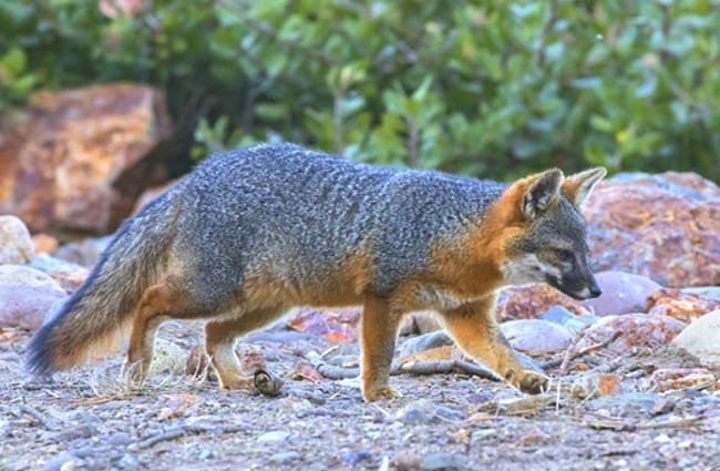 Island Fox hunting in the early morning hours Photo by: Caleb Putnam, public domain https://creativecommons.org/licenses/by/2.0/