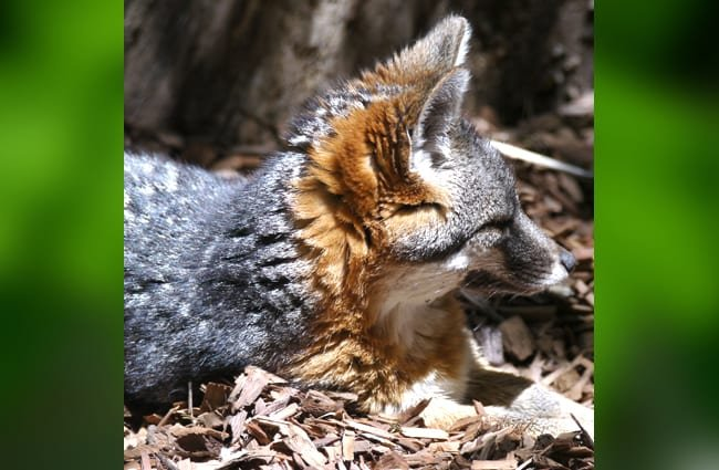 A groggy Island Fox kit Photo by: Mike Liu https://creativecommons.org/licenses/by/2.0/