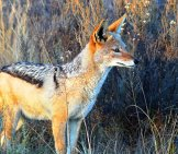 Black-Backed Jackalphoto By: Gerwin Exters//pixabay.com/photos/jackal-South-Africa-Nature-Kruger-1648765/