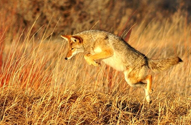 Coyote pouncing on small prey Photo by: skeeze //pixabay.com/photos/coyote-leaping-predator-wildlife-931142/