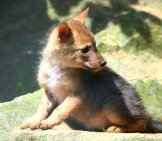 Golden Jackal Pup Photo By: Theo Stikkelman //creativecommons.org/licenses/by/2.0/