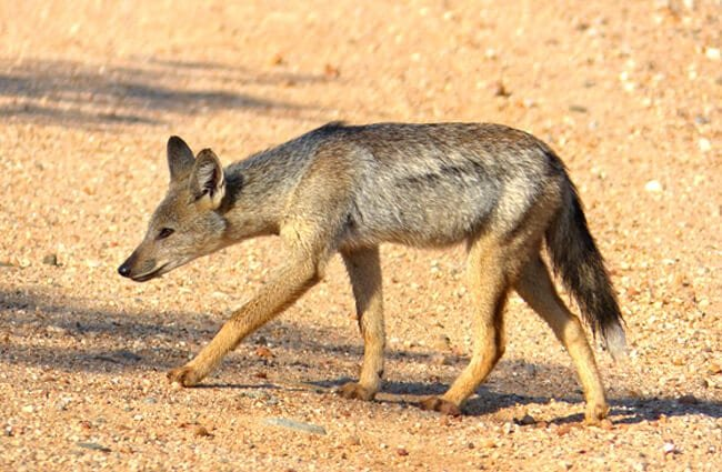 Side-Striped Jackal Photo by: Bernard DUPONT //creativecommons.org/licenses/by/2.0/