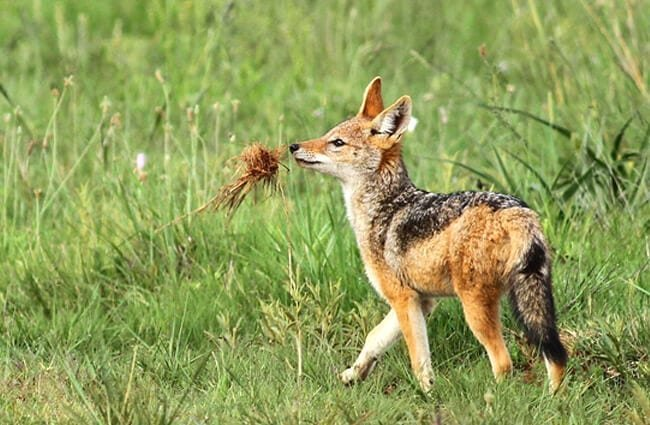 A young Black-Backed Jackal, at Rietvlei Nature Reserve, Gauteng, South Africa Photo by: Derek Keats //creativecommons.org/licenses/by/2.0/