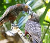 A Pair Of Kaka Parrots Photo By: Small //creativecommons.org/licenses/by/2.0/