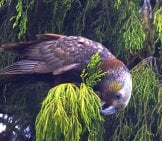 "Kaka On Stewart Island In New Zealand Photo By: Gregory ""slobirdr"" Smith //creativecommons.org/licenses/by/2.0/"