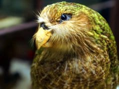 Kakapo at Naturhistorisches MuseumPhoto by: Allie_Caulfield//creativecommons.org/licenses/by/2.0/