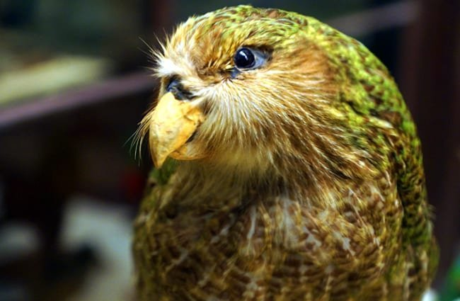 Kakapo at Naturhistorisches MuseumPhoto by: Allie_Caulfieldhttps://creativecommons.org/licenses/by/2.0/