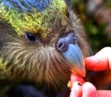 Juvenile Kākāpō On Anchor Island In Dusky Sound Photo By: Chris Birmingham, Department Of Conservation Https://creativecommons.org/licenses/by/2.0/
