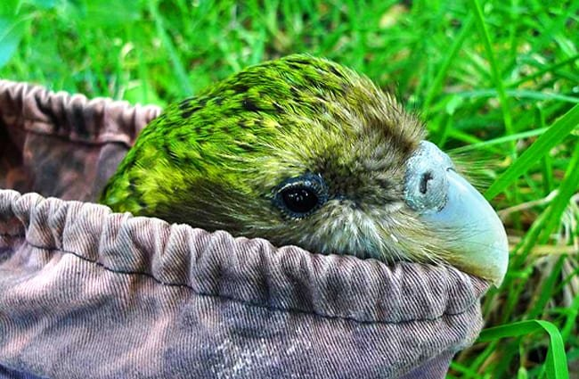 Sirocco the kakapo ready to go to Orokonui Ecosanctuary Photo by: Chris Birmingham, Department of Conservation https://creativecommons.org/licenses/by/2.0/