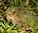 A Kakapo Camouflaged In The Night Forest Photo By: Mnolf Cc By-Sa 3.0 Http://creativecommons.org/licenses/by-Sa/3.0/