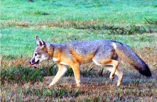 A healthy male San Joaquin Kit Fox Photo by: California Department of Fish and Wildlife https://creativecommons.org/licenses/by/2.0/