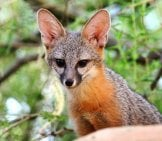 Kit Fox Peering From Abovephoto By: Renee Graysonhttps://creativecommons.org/licenses/by/2.0/