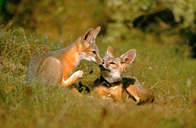 A cute pair of Kit Foxes Photo by: Peterson B Moose, U.S. Fish and Wildlife Service [Public domain]