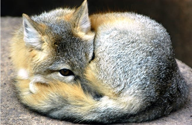 A Kit Fox curled up on a rockPhoto by: (c) eluthye www.fotosearch.com