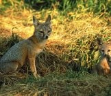 A Female San Joaquin Kit Fox And Her Two Kits (Babies) Photo By: Peterson B Moose, U.s. Fish And Wildlife Service [Public Domain]