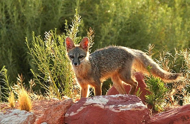 A Kit Fox Photo by: Utahcamera at English Wikipedia. [Public domain]