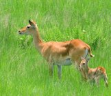 A Female Kob And Her Baby Photo By: David Bygott Https://creativecommons.org/licenses/by-Nc-Sa/2.0/